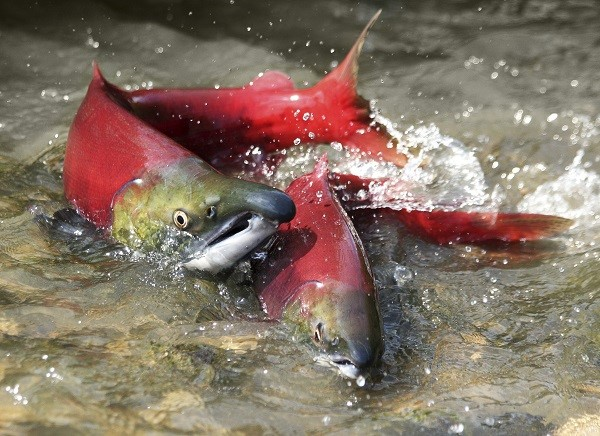 Oregon_Fish_Salmon