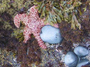 1859-oregons-birthday-photo-contest-oregon-coast-starfish-in-tide-pool-depoe-bay-colleen-cochran