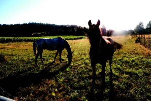 2010-Autumn-Oregon-Travel-Wine-Willamette-Valley-ArborBrook-Vineyards-horses-Red-and-Trixie-in-pasture