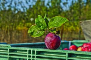 2011-Autumn-Oregon-Bounty-Willamette-Valley-Wandering-Aengus-apple-for-hard-cider-production