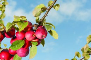 2011-Autumn-Oregon-Bounty-Willamette-Valley-Wandering-Aengus-apples-on-a-tree-for-hard-cider-production