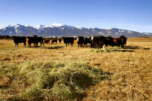 2011-Spring-Eastern-Oregon-McClaran-Ranch-grass-and-hay-fed-cattle-grazing