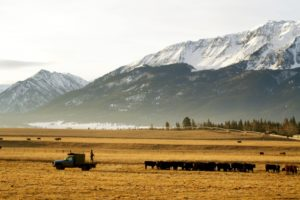 2011-Spring-Eastern-Oregon-Wallowas-McClaran-Ranch-grass-and-hay-fed-cattle-grazing-man-on-truck