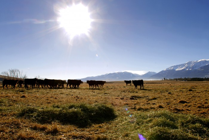 2011-Spring-Eastern-Oregon-Wallowas-McClaran-Ranch-grass-and-hay-fed-cattle-grazing-underneath-hot-sun