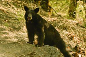 Autumn-2011-Southern-Oregon-Rogue-River-bear