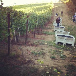 2012-oregon-1859-november-wine-blog-jennifer-cossey-winemaking-internship-vines