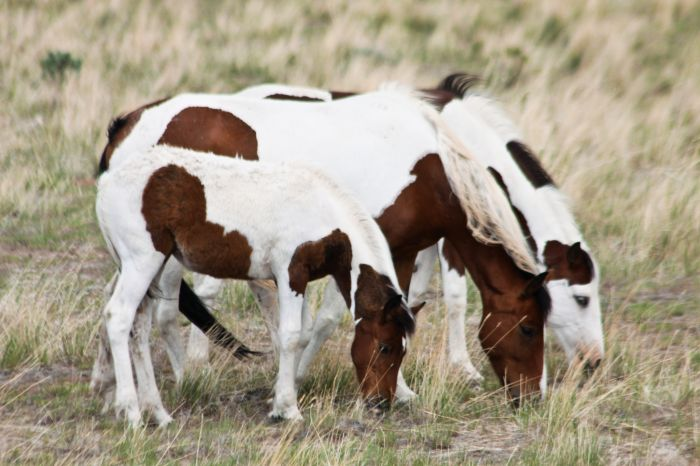 2012-september-october-1859-eastern-oregon-steens-mountains-gallery-wild-mustangs-adult-child-grazing