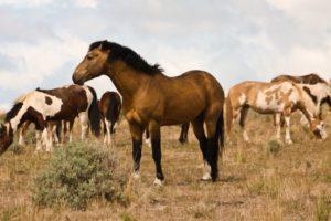 2012-september-october-1859-eastern-oregon-steens-mountains-gallery-wild-mustangs-brown-mare