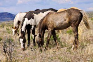 2012-september-october-1859-eastern-oregon-steens-mountains-gallery-wild-mustangs-grazing-horses