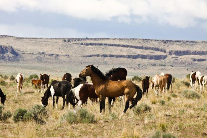 2012-september-october-1859-eastern-oregon-steens-mountains-gallery-wild-mustangs-herd-ridge-background