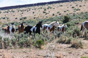 2012-september-october-1859-eastern-oregon-steens-mountains-gallery-wild-mustangs-herd-running