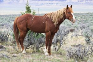 2012-september-october-1859-eastern-oregon-steens-mountains-gallery-wild-mustangs-horse-and-scrubbrush