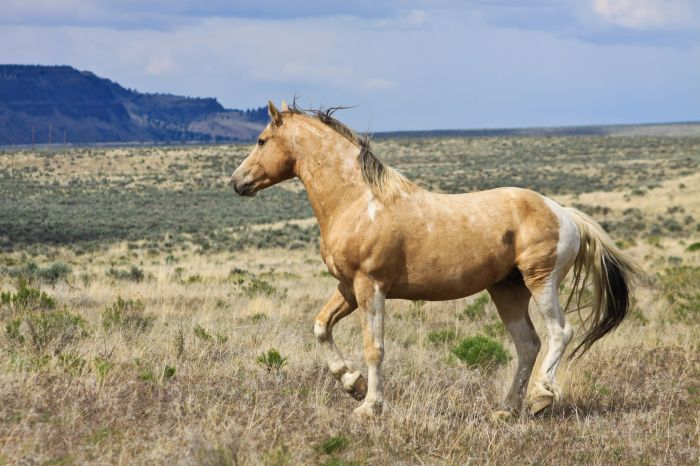 2012-september-october-1859-eastern-oregon-steens-mountains-gallery-wild-mustangs-horse-running