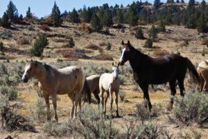 2012-september-october-1859-eastern-oregon-steens-mountains-gallery-wild-mustangs-horses-on-hillside