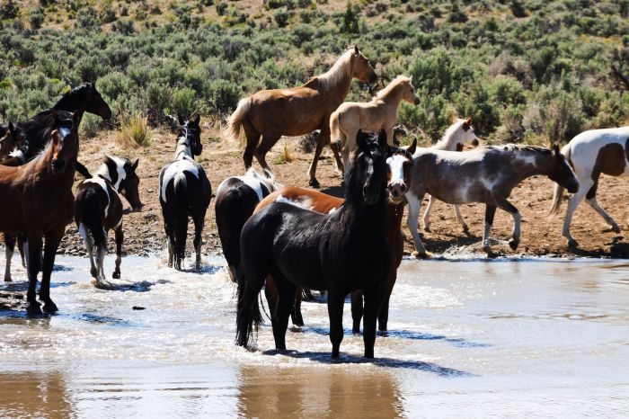 2012-september-october-1859-eastern-oregon-steens-mountains-gallery-wild-mustangs-in-water-observing-photographer
