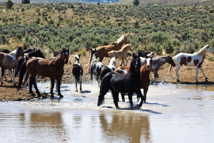 2012-september-october-1859-eastern-oregon-steens-mountains-gallery-wild-mustangs-in-water-spotted-photographer