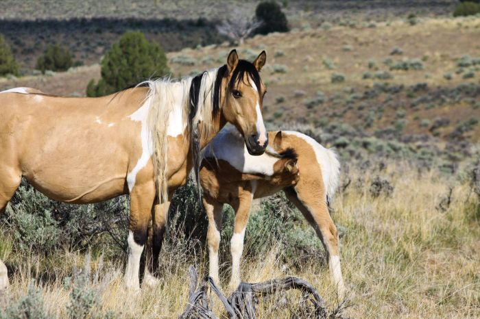 2012-september-october-1859-eastern-oregon-steens-mountains-gallery-wild-mustangs-mother-and-child