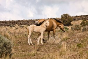 2012-september-october-1859-eastern-oregon-steens-mountains-gallery-wild-mustangs-mother-child