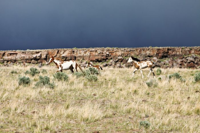 2012-september-october-1859-eastern-oregon-steens-mountains-gallery-wild-mustangs-running-horses