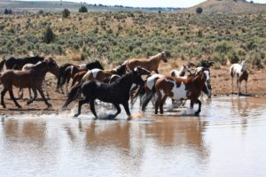 2012-september-october-1859-eastern-oregon-steens-mountains-gallery-wild-mustangs-running-in-water