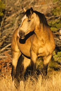 2012-september-october-1859-eastern-oregon-steens-mountains-gallery-wild-mustangs-single-horse-close-up