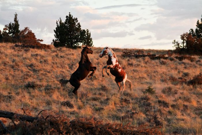 2012-september-october-1859-eastern-oregon-steens-mountains-gallery-wild-mustangs-two-horses-rearing