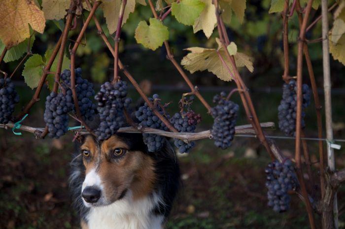 2012-september-october-1859-magazine-willamette-valley-oregon-wine-crush-dog-and-grapes