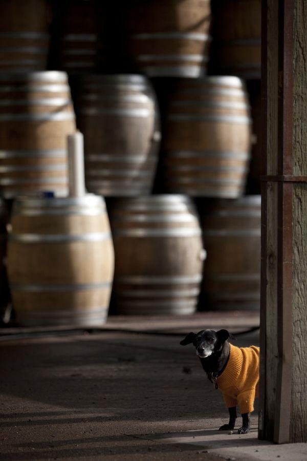 2012-september-october-1859-magazine-willamette-valley-oregon-wine-crush-dog-in-warehouse-barrels
