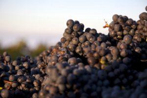 2012-september-october-1859-magazine-willamette-valley-oregon-wine-crush-pinot-grapes