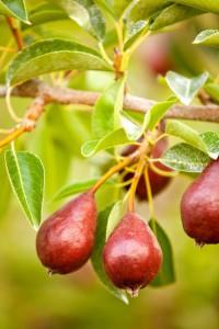 2012-september-october-1859-oregon-hood-river-farm-to-table-anjou-pears
