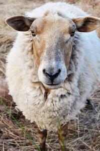 2012-september-october-1859-willamette-valley-oregon-72-hours-in-corvallis-afton-field-farm-sheep