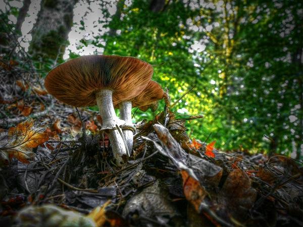 Oregon_Harvest_Mushroom