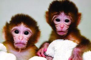 2012-Spring-Oregon-Ventures-Oregons-Stem-Cell-Breakthrough-monkeys