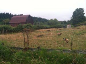 2012-summer-july-1859-willamette-valley-oregon-trail-run-chehalem-mountains-grazing-sheep