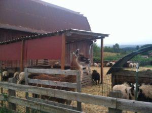 2012-summer-july-1859-willamette-valley-oregon-trail-run-chehalem-mountains-llama-and-sheep