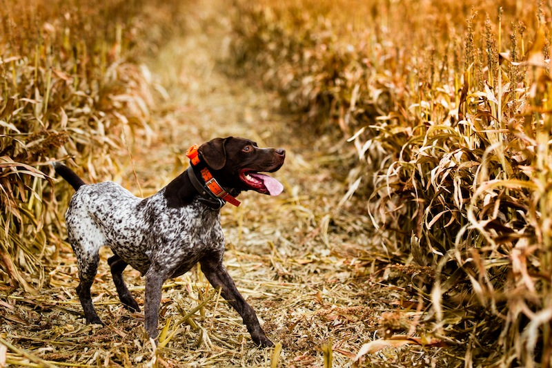 2013-january-february-1859-magazine-gorge-mt-hood-oregon-the-dalles-outdoor-adventures-upland-bird-hunt-hunting-dog-in-field