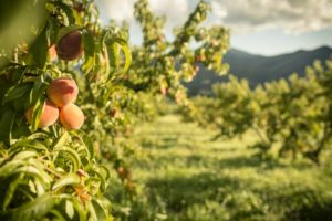 1859_July_August_Jared_Cruce_Valley_View_Peaches_18
