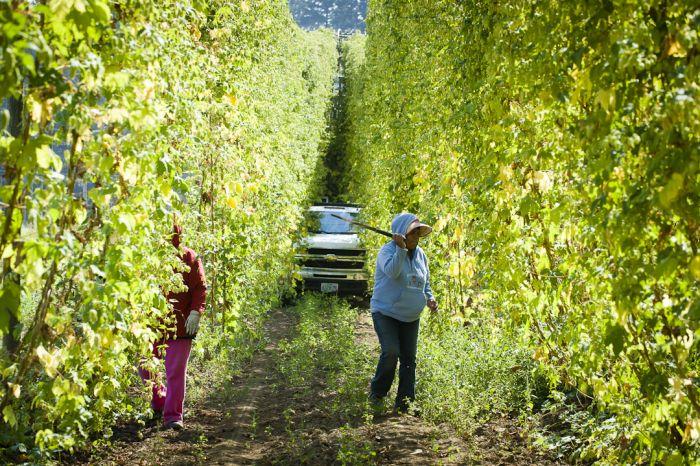 2012-november-december-1859-magazine-willamette-valley-oregon-hop-oregon-beer-goschie-farms-harvest