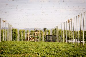 2013-november-december-1859-magazine-willamette-valley-oregon-hops-beer-goschie-farms-harvest
