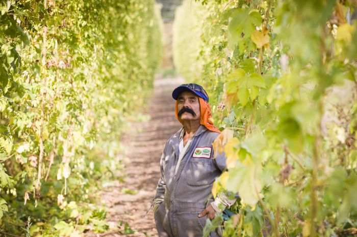 2013-november-december-1859-magazine-willamette-valley-oregon-hops-beer-goschie-farms-harvest-worker