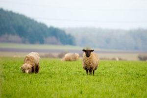 Ken_Smith_Willamette_Valley_Sheep_1859