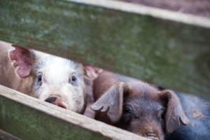 dundee_pigs_feature_worden_hilll_farm_talia_filipek-11