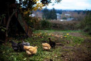 dundee_pigs_feature_worden_hilll_farm_talia_filipek-5