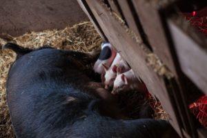 dundee_pigs_feature_worden_hilll_farm_talia_filipek-6