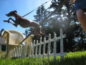 jane-ridley-dog-jumping-fence