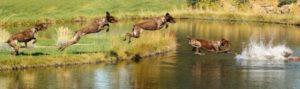 lisa-armstrong-dog-jumping-into-river-panorama