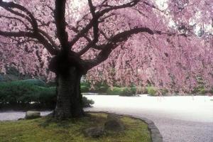 pdx-japanese-garden-blossom