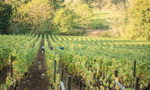 roco-wits-end-vineyard