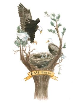 1859_Nov_Dec_2015_Feature-Birding_Karen_Eland_bald-eagle