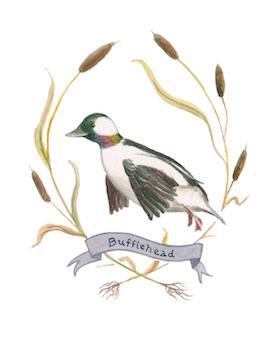 1859_Nov_Dec_2015_Feature-Birding_Karen_Eland_bufflehead